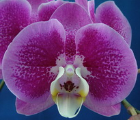 phal younghome melody