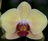 phal yellow beauty
