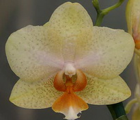 phal yellow pepper