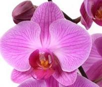 phalaenopsis zambezi