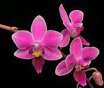phalaenopsis zuma pixie