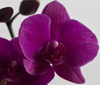 phalaenopsis vivaldi