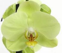 phalaenopsis yara