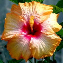 hibiscus athena