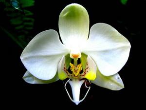 Phalaenopsis_amabilis