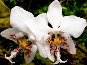phalenopsis stuartiana