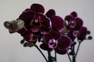 Phalaenopsis 'Black Mambo'