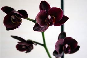 halaenopsisBlackVinicolor300