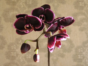 Doritaenopsis Taiwan Bat Black Rose1