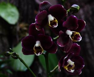 PhalaenopsisBlackPurple