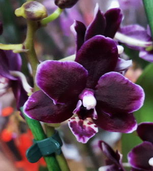doritaenopsis Lius Little Rainbow Black Pearl1