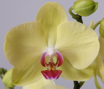 phalaenopsis Miraflore