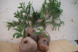 картофель для укоренения