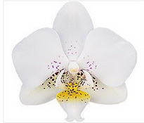 phalaenopsis 'Mia'