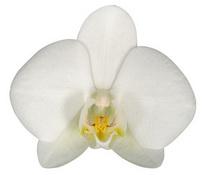 Bahia Blanca (Anthura) цветок 7 см