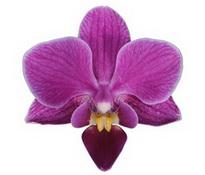 Basel (Anthura) цветок 5 см