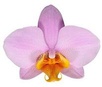 Beaumont (Anthura ) цветок 8 см