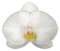 Beijing (Anthura) цветок 11 см