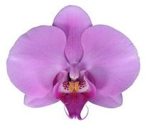 Bloomington (Anthura) цветок 8 см