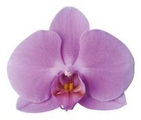 Bombay (Anthura)  цветок 11 см