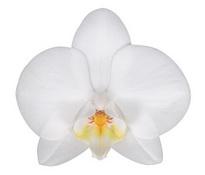 Brisbane (Anthura) цветок 8 см