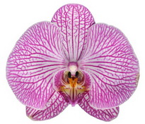 Budapest (Anthura) цветок 9 см