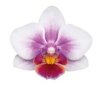 Buenos Aires (Anthura) цветок 4 см