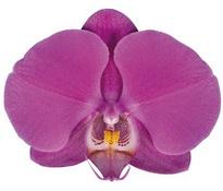 Buffalo (Anthura) цветок 10 см