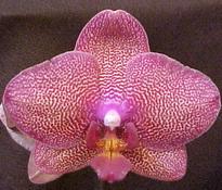 Phalaenopsis Brother Lancer