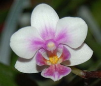 Phalaenopsis Brother Spring Dancer