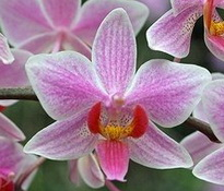 Phalaenopsis Carolina Tiny Phil