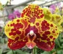 Phalaenopsis Chang Yuan Golden Peoker 'Amber'