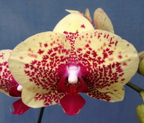 Phalaenopsis Chia-Shing Royal