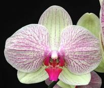 Phalaenopsis Chian Xen Queen