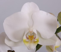 phalaenopsis Salt Lake