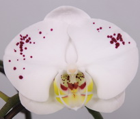 phalaenopsis Salt-and-Pepper