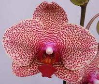 phalaenopsis Sesame