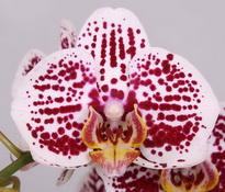 Phalaenopsis Shamrock
