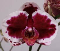 phalaenopsis Sparkling-Moments1