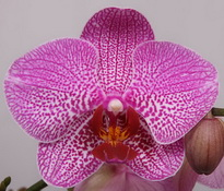 Phalaenopsis Spotters-Hill