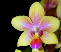 phalaenopsis biondoro