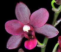 phal-champion-black-pixie-00