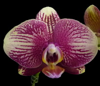 phal-champion-phantom-00