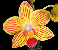 phal-chingrueys-goldstaff-00