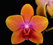 phalaenopsis sweet memory - bubbles