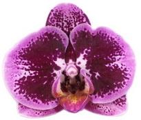 Phalaenopsis Da Vinci1
