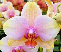 Phalaenopsis Dragon Tree Sara Beauty 'Maui Coral'