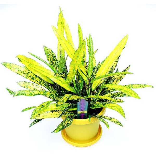 Codiaeum Gold-Star