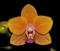 Doritaenopsis Lioulin Orange 'Trick or Treat'
