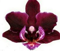 phalaenopsis lola
